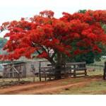 Árvore típica da região