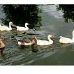 Parques e patos II